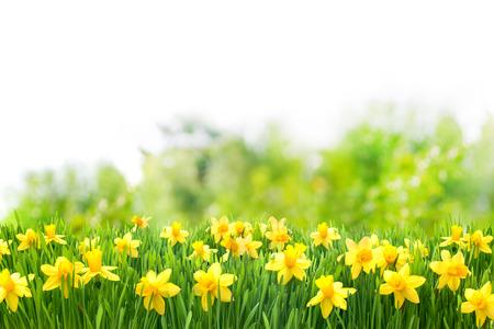 春の美しい黄色の水仙とイースターの背景