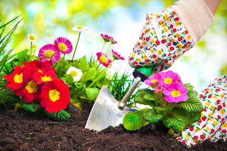 Giardinieri mani piantando fiori al giardino di casa Archivio Fotografico - 52913986