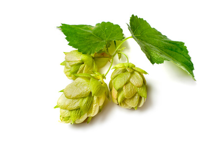Green hop plant isolated on white background Фото со стока