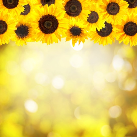 Border of fresh sunflowers on colorful background Stock Photo