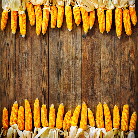 Freshly harvested corn on rustic wooden background