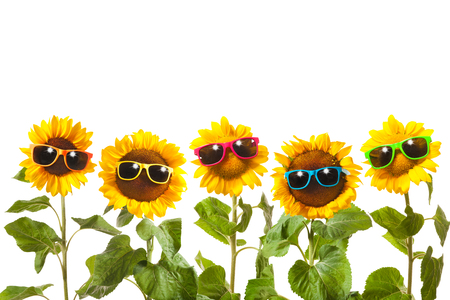 Sunflowers with sunglasses isolated on white background Stock Photo