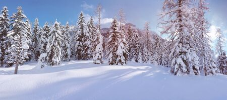 winter trees: Fir trees under the snow. Mountain forest in winter. Christmas landscape