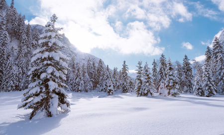 Fir trees under the snow. Mountain forest in winter. Christmas landscape