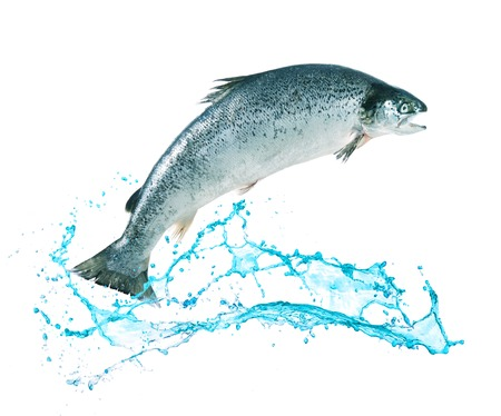 poissons de saumon atlantique sauter hors de l'eau