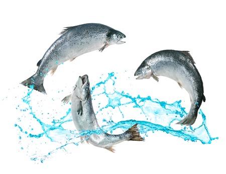 물 밖으로 뛰어 대서양 연어 물고기 스톡 콘텐츠