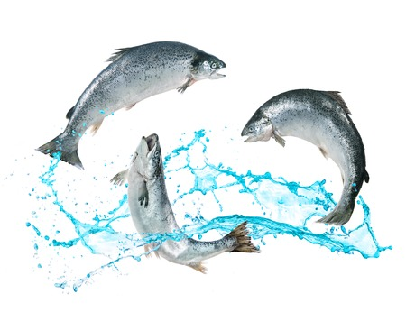 Atlantic salmon fishes jumping out of water Фото со стока - 73220503
