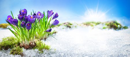 Purple crocuses growing through the snow in early spring