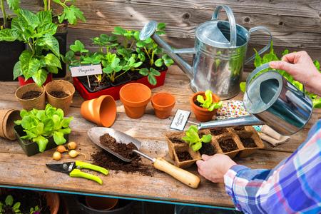 Planting seedlings in greenhouse in spring Stock Photo