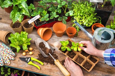 春の温室で苗を植栽 写真素材