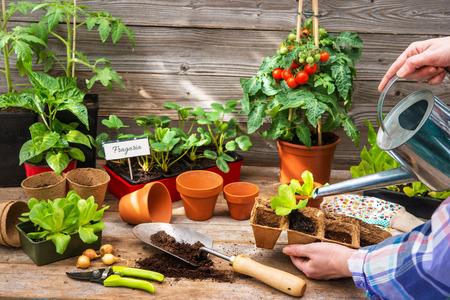 Anpflanzen von Setzlingen im Gewächshaus im Frühjahr Standard-Bild - 74646750
