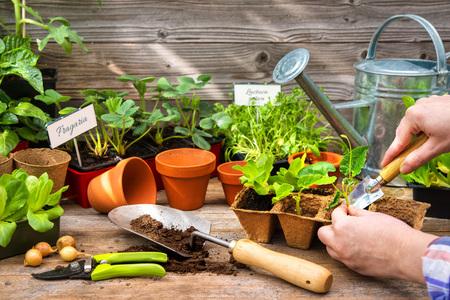 Anpflanzen von Setzlingen im Gewächshaus im Frühjahr Standard-Bild - 74646760