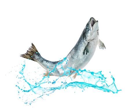 Atlantischen Lachs Fisch springt aus dem Wasser Standard-Bild - 76548417