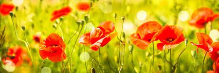 Poppy flowers field. Nature spring background with blooming poppies