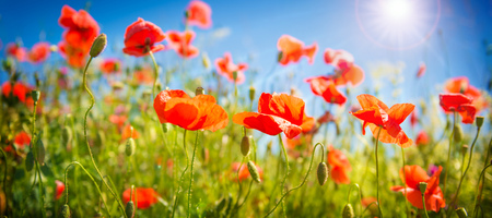 Poppy bloemen veld. Natuur lente achtergrond met bloeiende klaprozen over de blauwe hemel. Landelijk landschap met rode wilde bloemen Stockfoto