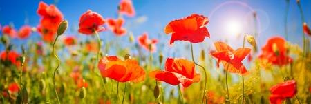 罂粟花。大自然的春天背景与盛开的罂粟在蓝色的天空。有红色野花的乡村景观