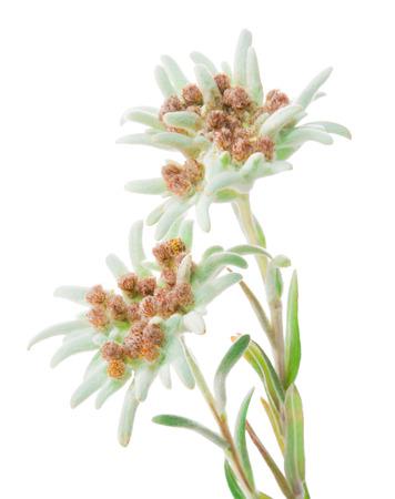 エーデルワイスの花が白で分離されました。Leontopodium alpinum 写真素材