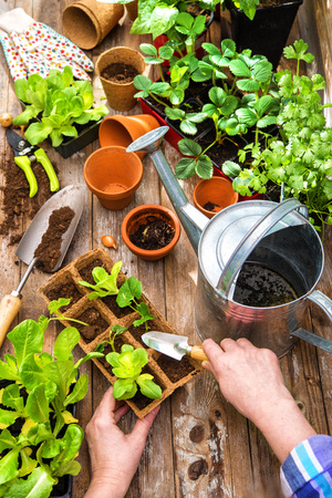 Sämlinge im Gewächshaus im Frühjahr pflanzen Standard-Bild - 93090048