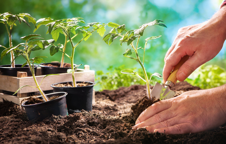 Farmer planting tomatoes seedling in organic garden. Stock Photo - 120475735