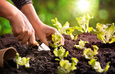 Farmer planting young seedlings of lettuce salad in the vegetable garden Archivio Fotografico - 120475737