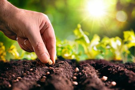 Mano del agricultor plantando semillas en el suelo. Foto de archivo