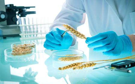 Investigador analizando cereales y leguminosas agrícolas en laboratorio. Investigación de OMG de cereales. Prueba de semillas modificadas genéticamente