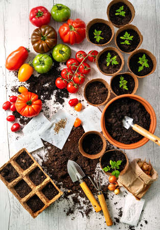 Tomatoes cultivation. Different varieties of tomatoes, young seedlings, seeds and and gardening tools on wooden table Reklamní fotografie