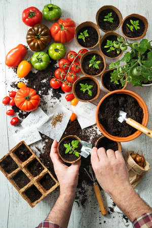 Farmer planting young tomatoes seedlings on wooden table Reklamní fotografie