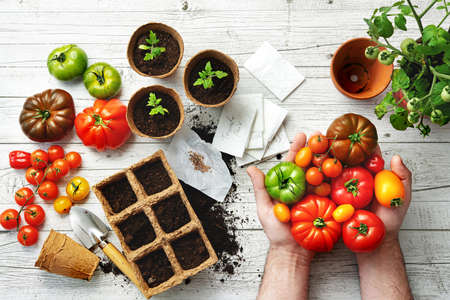 Farmer shows different varieties of tomatoes on table with soil, seeds and young seedlings in greenhouse Reklamní fotografie
