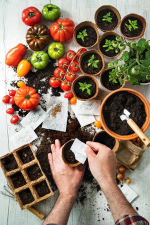 Tomatoes cultivation. Farmer sows tomato seeds in seed pots Reklamní fotografie
