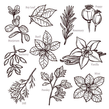 marjoram: Sketch Herbs And Spice Collection In Hand Drawn Style Illustration