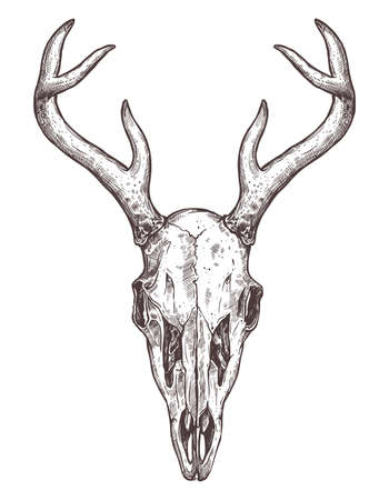Croquis du crâne de cerf, belle illustration