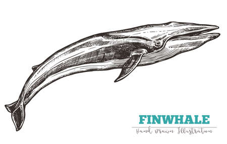 Hand drawn vector finwhale. Sketch engraving illustration of whale