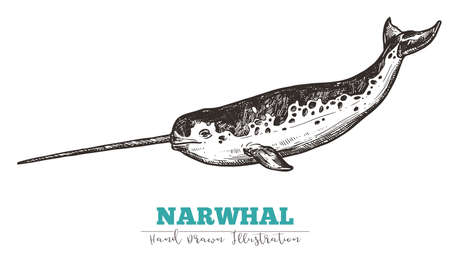 Hand drawn vector narwhal. Sketch engraving illustration of whale 일러스트