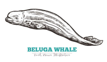 Hand drawn vector beluga whale. Sketch engraving illustration of whale