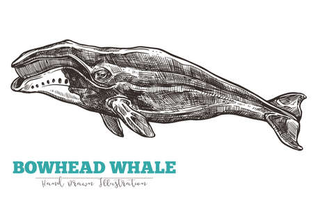 Hand drawn vector bowhead whale. Sketch engraving illustration