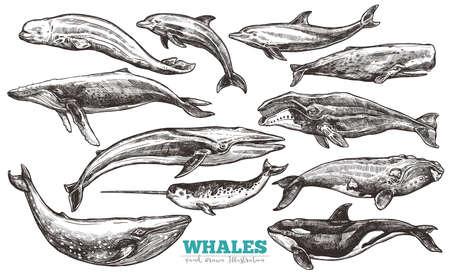 Ensemble de croquis de baleines. Baleine et dauphins en style gravure. Illustration zoologique des mammifères marins