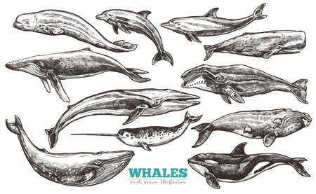 Whales sketch set. Whale and dolphins in engraving style. Zoological illustration of ocean mammals Illustration