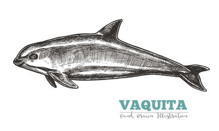 Hand drawn vaquita. Isolated vector illustration of Gulf of California harbor porpoise in sketch engraving style. Endangered species