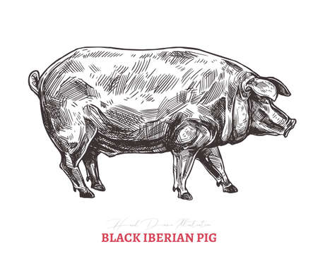 Hand drawn vector black iberian pig. Farm animal isolated on white background in sketch engraving style Illustration