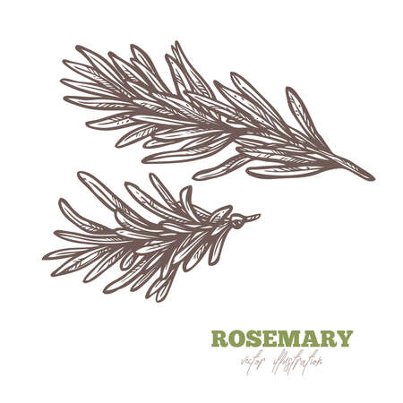 Isolated branch of fresh or dry rosemary on white. Spices and herbs vector hand drawn sketch etching botanical illustration