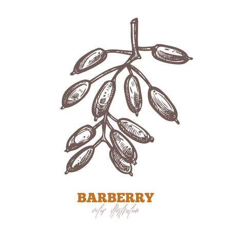Isolated single barberry branch with berries on white. Spice and herbs vector illustration. Hand drawn sketch drawing