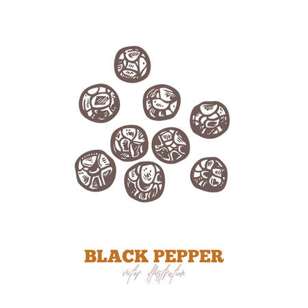 Isolated vector black pepper dry seed on white. Spices and herbs illustration. Hand drawn sketch in engraved style