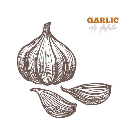 Single isolated garlic and clove spice on white. Vector sketch hand drawn illustration