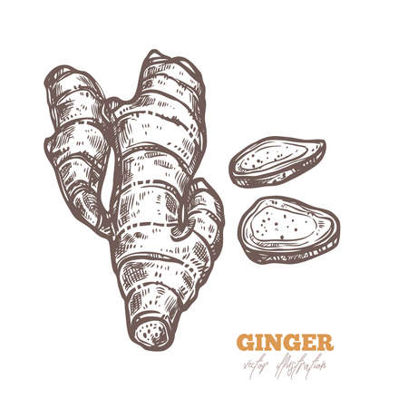 Isolated vector ginger root with slices on white. Spices illustration in sketch style. Hand drawn etching