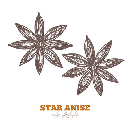 Single isolated star anise chinese spice or fruit on white. Vector sketch hand drawn illustration
