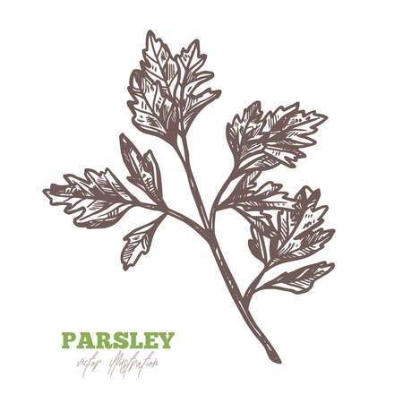 Isolated branch of fresh parsley leaves on white. Spices and herbs vector hand drawn sketch etching botanical illustration