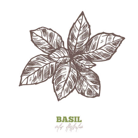 Isolated branch of fresh basil leaves on white. Spices and herbs vector hand drawn sketch etching botanical illustration
