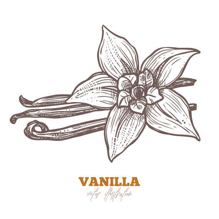 Isolated vector vanilla flower with sticks on white. Aroma spices illustration. Hand drawn botanical sketch