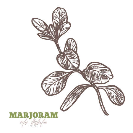 Isolated branch of fresh marjoram or oregano on white. Spices and herbs vector hand drawn sketch etching botanical illustration